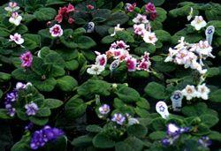 Violet varieties