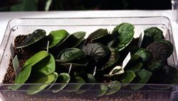 Propagated violet