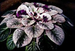 Healthy violet