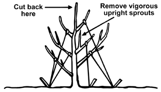 Figure 3. A 2-year-old tree properly trained with strings on scaffold limbs in the dormant season. Train limbs to a 45-degree angle.