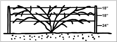 Figure 1. A proper trellis for trailing blackberries or Dormanred raspberries.