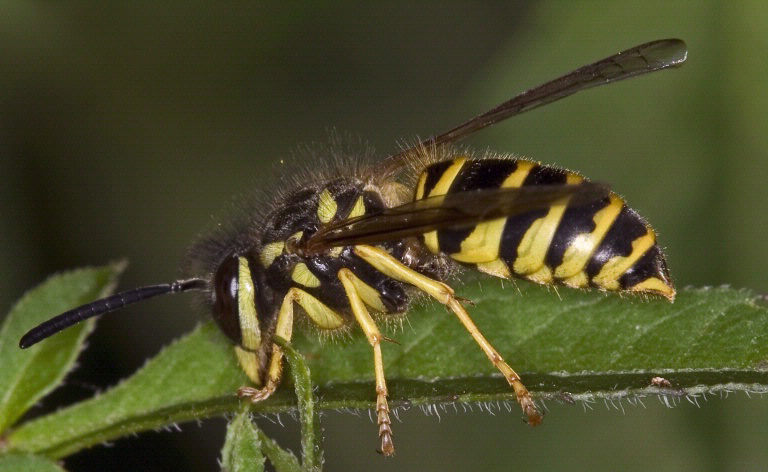 Yellow Jacket photo