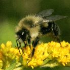 Bumble Bee photo