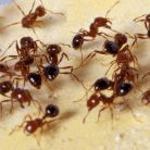 Fire Ants photo