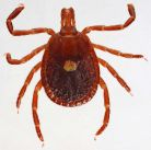 Lone Star Tick photo