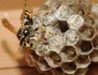 Photo of umbrella wasp on nest