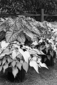 Figure 8. Several 3-inch potted caladiums were used initially to put up these 3-gallon containers.