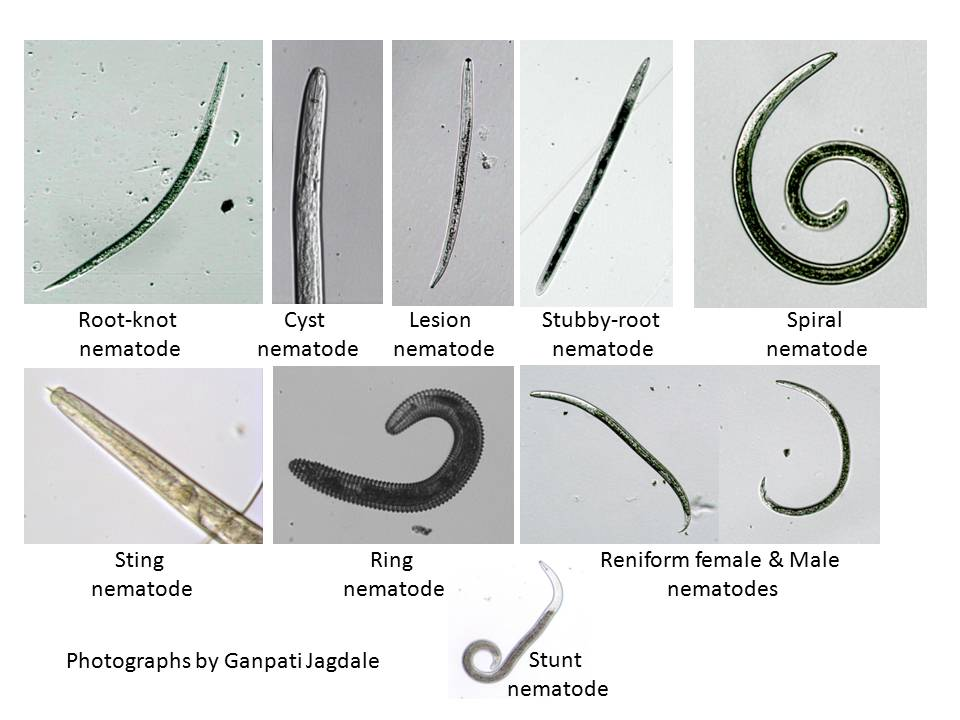 Figure 6. Different types of plant-parasitic nematodes that cause economic loss to different types of crops in Georgia crops
