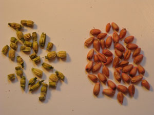 wild radish seeds and wheat seeds