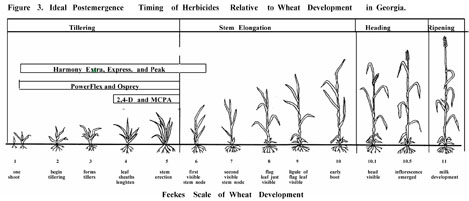 Ideal postemergence timing of herbicides drawing