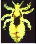 Figure 1: Head Louse - Pediculus capitis.