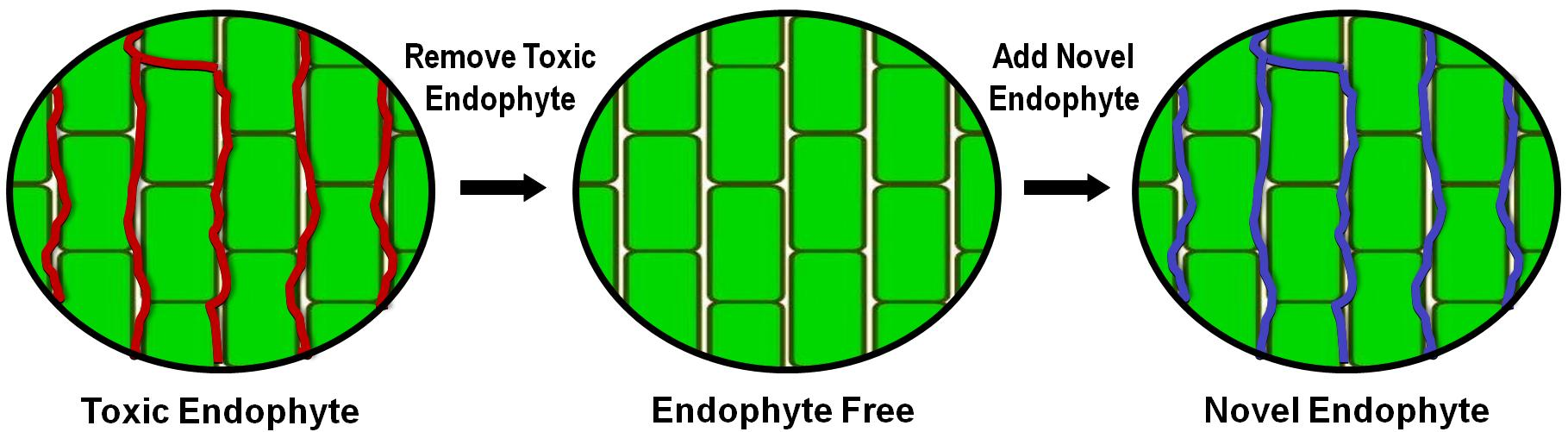 Figure 1. Hyphae of the fungal endophyte grow between the cells (green) of the tall fescue plant. When building a novel endophyte-infected tall fescue, the toxic endophyte (red lines) is removed from the tall fescue plant to create an endophyte-free plant. Then, the novel endophyte (blue lines) is introduced into the plant.
