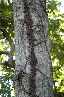 Figure 1. Poison ivy vine (Rhus radicans) with aerial rootlets on trees.