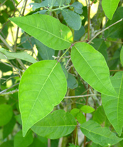Figure 2. Poison ivy (Rhus radicans) leaf with three leaflets.