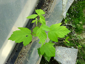 Figure 3. Box elder (Acer negundo) leaves are often confused with poison ivy.