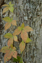 Figure 4. Virginia creeper (Parthenocissus quinquefolia) foliage is often confused with poison ivy.