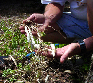 """Figure 3. Tubers of Florida betony that look like the rattle of a rattlesnake, hence the name """"rattlesnake weed."""""""