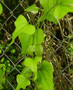 Figure 1. With the exception of Smilax pumila (Sarsaparillavine), all species of Smilax are climbing vines.