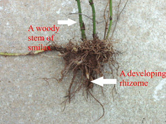 Figure 2. All species have an extensive underground rhizome tuber system.