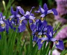 Figure 1. Japanese Iris (Iris ensata).