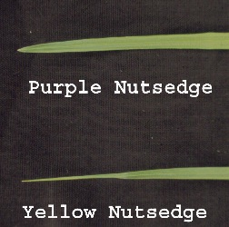 Figure 3. Leaf tips of Yellow and Purple Nutsedge. Notice the differences in leaf tips. Purple Nutsedge has a keel shape, and yellow nutsedge is pinched.
