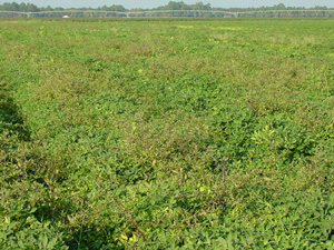 Figure 1. Eclipta infestation in peanut near Moultrie, Ga., 2003. (E.P. Prostko)