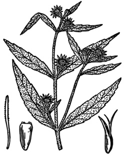 Figure 2. Eclipta line drawing from USDA-NRCS PLANTS Database/Britton, N.L. and A. Brown. 1913. Illstrated Flora of the Northern States and Canada. Vol. 3: 486.