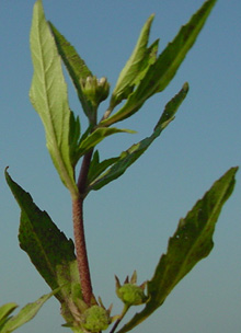 Figure 4. Eclipta has opposite leaves with toothed margins. (E.P. Prostko)