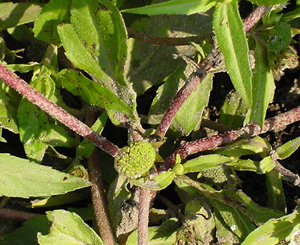 Figure 5. Eclipta has hairy, reddish-purple stems. Flowers are green when immature. (E.P. Prostko)