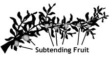Subtending Fruit 1