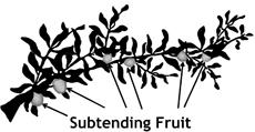 Subtending Fruit 2