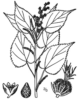 Figure 2. Hophornbeam copperleaf line drawing from USDA-NRCS PLANTS database/Britton, N.L., and A. Brown. 1913. Illustrated Flora of the Northern States and Canada, Vol. 2:257.