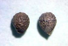 Figure 8. Hophornbeam copperleaf seed. (J.H. Brock)