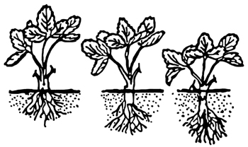 Figure 1. Plant at the correct depth.