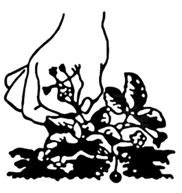 Figure 2. Remove flowers the spring of planting.