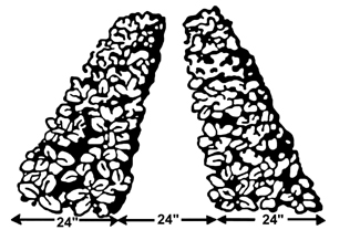 Figure 3. The matted row system for growing strawberries.