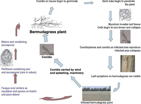 Figure 3. Bermudagrass leaf spot disease cycle.