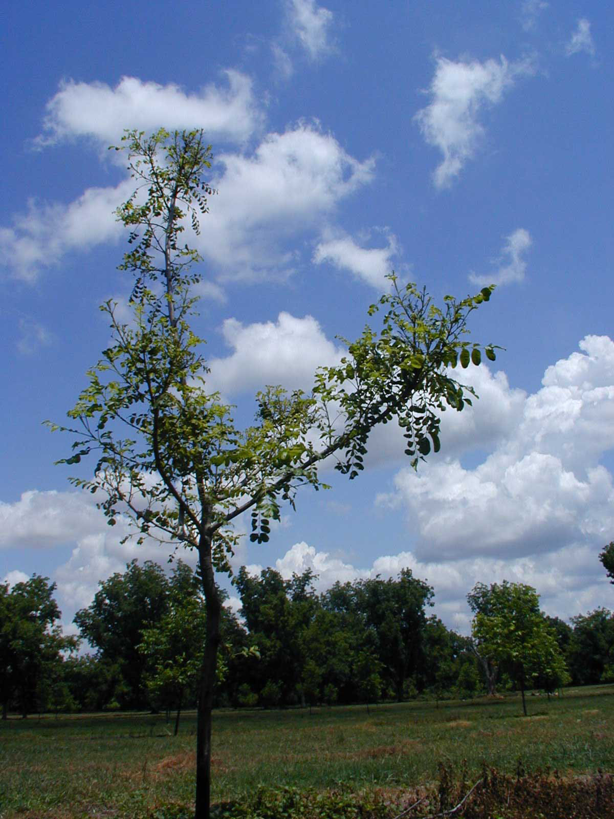 Figure 4 . Pecan tree suffering from nickel deficiency and mouse ear symptoms.