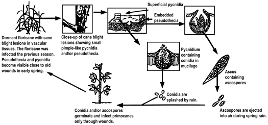 Figure 2. Disease cycle of cane blight.