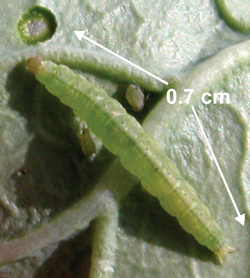 Photo 2. Diamondback moth larva feeding on cabbage leaf.