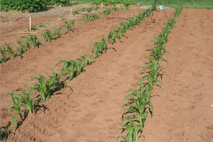 Figure 2. Plant several short rows.
