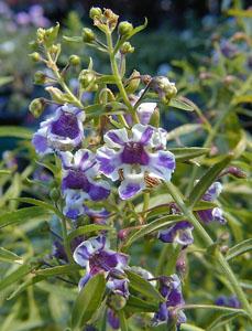Summer snapdragon flower close up