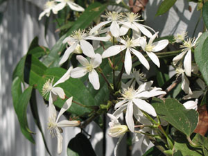Armand Clematis flower close up