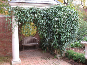 Armand Clematis on pergola