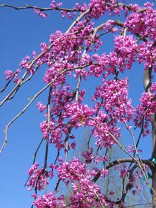 Lavender Twist Redbud flowers