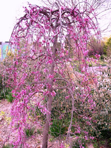 Lavender Twist Redbud in landscape, all pink flowers, no leaves