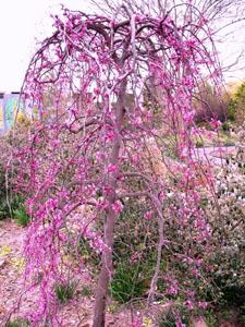 Lavender Twist Redbud in landscape, all pink flowers, no leaves