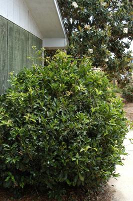 Fragrant Tea Olive in landscape