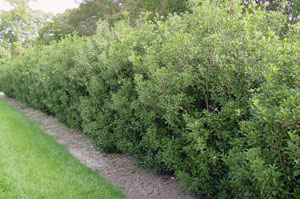 Fragrant Tea Olive as hedgerow