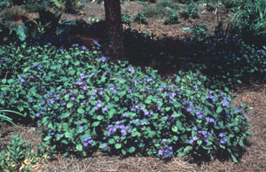 Perennial Plumbago